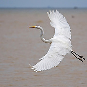Great Egret, Dangriga, Belize<br />