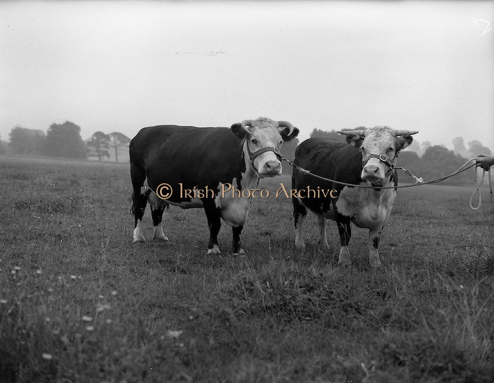"""11/08/1959<br /> 08/11/1959<br /> 11 August 1959<br /> Pedigree Bulls and Heifers for Coras Trachtala. """"Johnstown Brunette 15th"""" (left) and """"Johnstown Brunette 29th"""", owned by Mr. J. Kennedy, Johnstown, Rathcoole, Co. Dublin."""