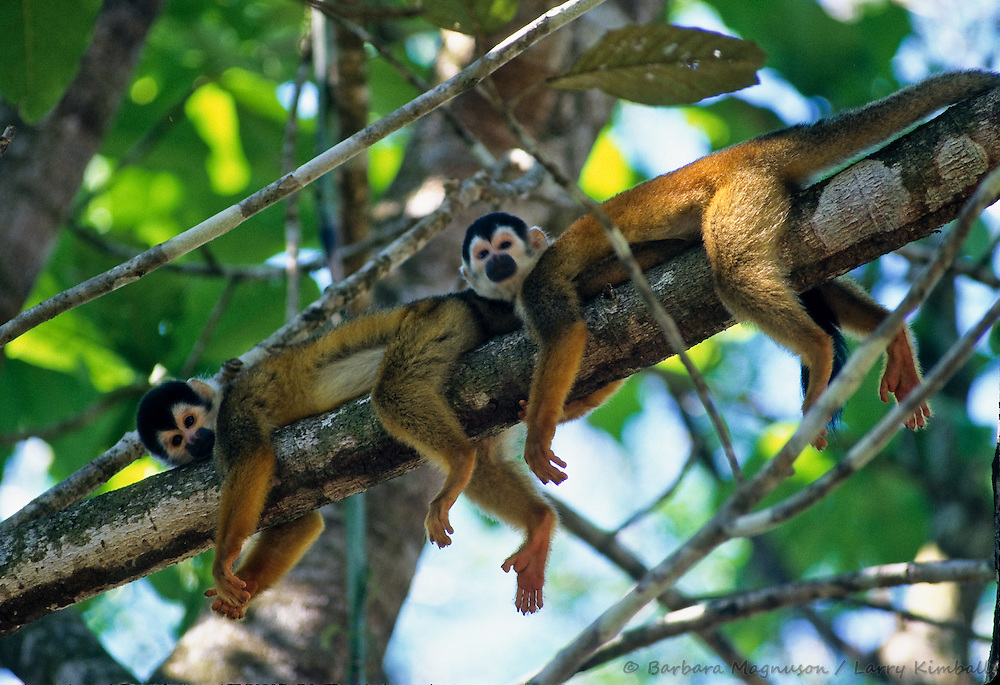 Central American Squirrel Monkeys [Saimiri oerstedii] napping on tree limb in tropical forest; Osa Peninsula, Costa Rica