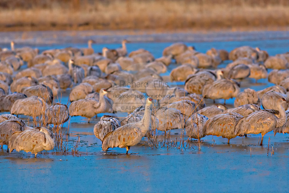 Sandhill Cranes stand in frozen water after overnighting together to keep warm at the Bosque del Apache National Wildlife Refuge in San Antonio, New Mexico. The cranes freeze in place as night temperatures drop and then free themselves when the sun warms the water.