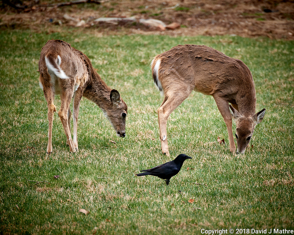 Scruffy Deer and Black Crow. Image taken with a Nikon D5 camera and 80-400 mm VRII lens (ISO 560, 400 mm, f/5.6, 1/400 sec).
