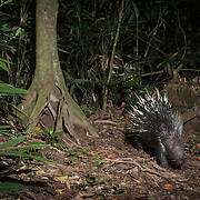 The Malayan porcupine or Himalayan porcupine (Hystrix brachyura) is a species of rodent in the family Hystricidae. Kaeng Krachan National Park, Thailand.