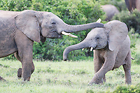 Young African Elephants sparring and playing, Addo Elephant National Park, Eastern Cape, South Africa