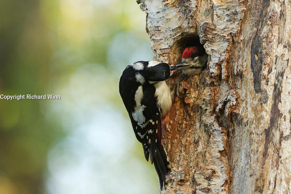 Female great spotted woodpecker feeding fledgling at nest. The young woodpeckers fledged a couple of days later.