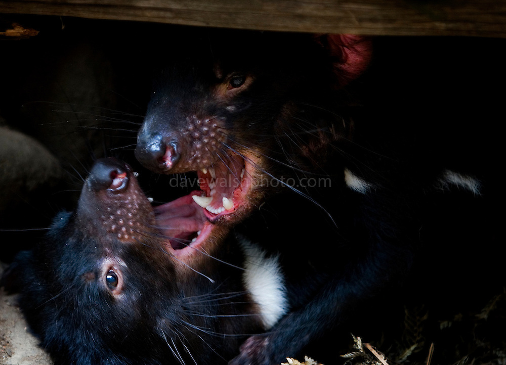 Captive Tasmanian Devils get sexy at Tasmanian Devil Conservation Park, near Taranna, Tasmania, Australia. This young male and female were going through the pre mating motions, wrestling, biting, snarling. I don't think they actually copulated while I was there, but it was a close run thing - the male did sit on the female. ....Most of the devils I photographed over the last week were either recovering from injuries, or orphans, seperated from parents suffering from the Tasmanian Devil Facial Tumor Disease, which is a contagious cancer.