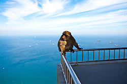 The semi-wild Barbary Macaques with the Straits of Gibraltar. Photographs from the top of the Rock of Gibraltar. Images of Gibraltar, the British overseas territory located on the southern end of the Iberian Peninsula at the entrance of the Mediterranean.