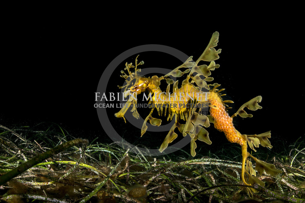 Leafy sesa dragon with eggs (Phycodurus eques), South Australia