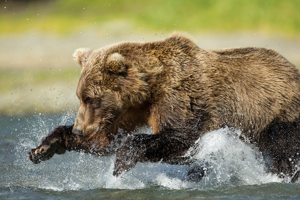 USA, Alaska, Katmai National Park, Grizzly Bear (Ursus arctos) leaps while fishing for spawning salmon along Geographic Harbor on late summer day