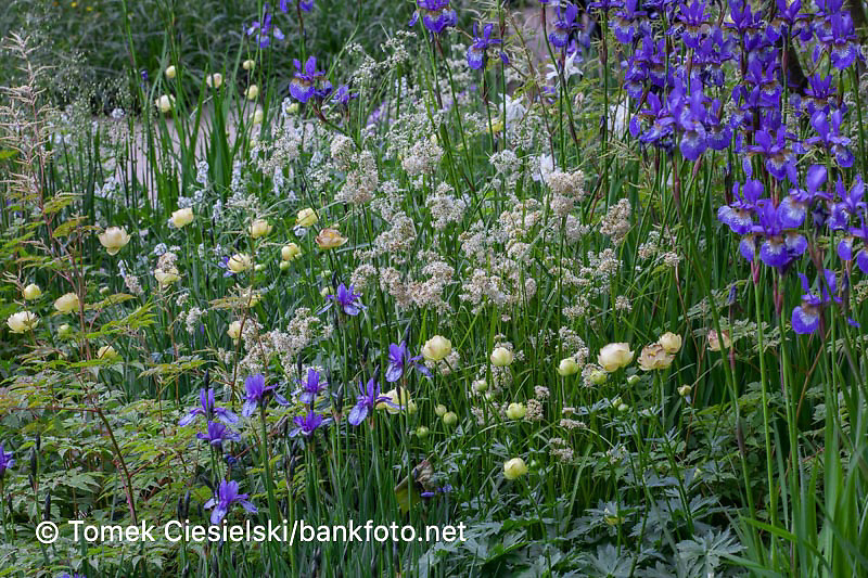 Green Yellow White Blue Planting combination with hardy geraniums, Iris siberica, Trollius and Astrantias.