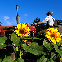 A wall of sunflowers frames Tyson Neukirk as the second year apprentice tills a field of broccoli and beets at the UC Santa Cruz Farm on September 22.