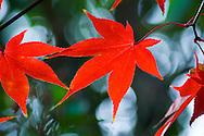 A crimson coloured acer leaf in autumn.