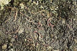 Lombrics dans le compost