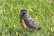 This little Robin fledgling has just departed the safety of the nest. His flying abilities are not so good. His foraging skills are pretty weak. He's really hoping that Mom & Dad will deliver some lunch!