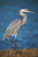 Great Blue Heron at Fort DeSoto in St. Petersburg, Florida. Image taken with a D3x and 500 mm f/4 VR lens (ISO 100, 500 mm, f/4, 1/000 sec).