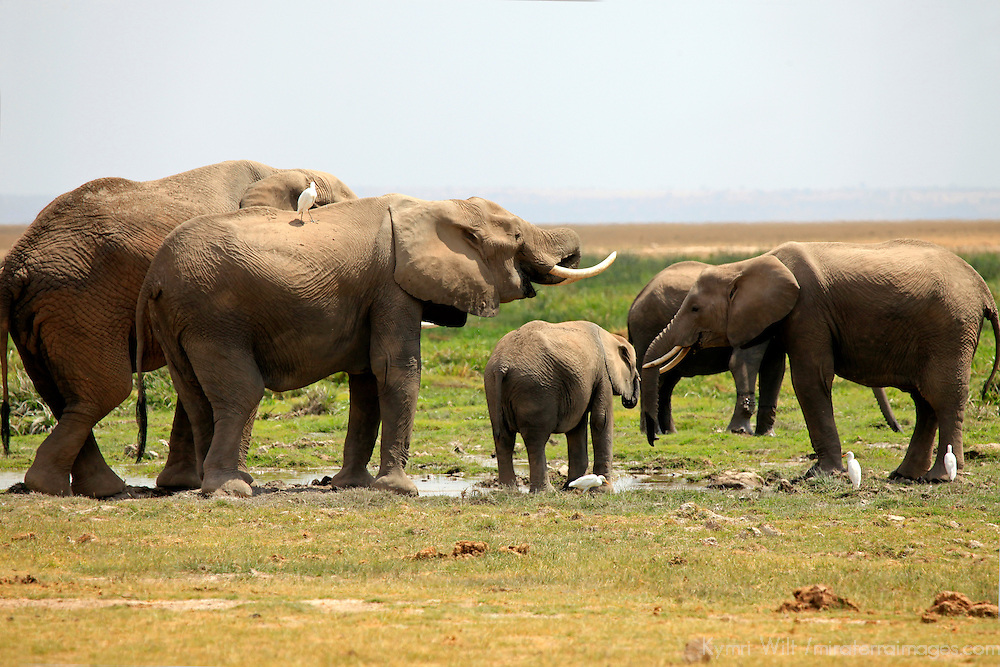 Africa, Kenya, Amboseli. A gathering of Elephants at Amboseli.