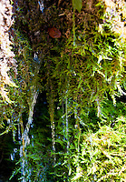 Close-up of water dripping off moss.