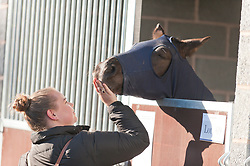 © Licensed to London News Pictures. 27/10/2016. Builth Wells, Powys, Wales, UK. Doylan Secret Adventure, a yearling Colt gets some affection in the stable area  on the first day of The Autumn Cob Sale - the largest sale in the World of registered Welsh Cobs Section D, Welsh Ponies of Cob Type Section C and their Part Breds. The sale takes place over three days at The Royal Welsh Showground in Builth Wells, Powys, UK, attracting an audience of thousands of Welsh Cob enthusiasts worldwide. Photo credit: Graham M. Lawrence/LNP