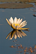 Water lilly reflected.