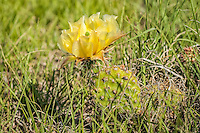 The brittle prickly pear is likely the most widespread cactus in North America. It's range includes the five western Canadian provinces, all of the western American states, and continues south well into Mexico. Because it can be found close to the Arctic Circle, it is also the most northerly cactus in North America. This one was found in flower growing near the Pawnee Buttes in northeastern Colorado.