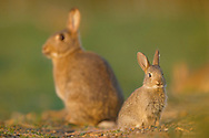 European Rabbit (Oryctolagus cuniculus)  adult and young at edge of wheat field, South Norfolk, England, April.