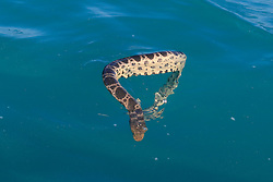 A Stokes' Seasnake (Astrotia stokesii) in Roebuck Bay, off Broome in Western Australia.
