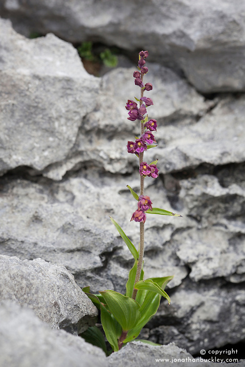 Dark Red Helleborine growing amongst the rocks of the limestone pavement at the Burren, ireland.  Epipactis atrorubens