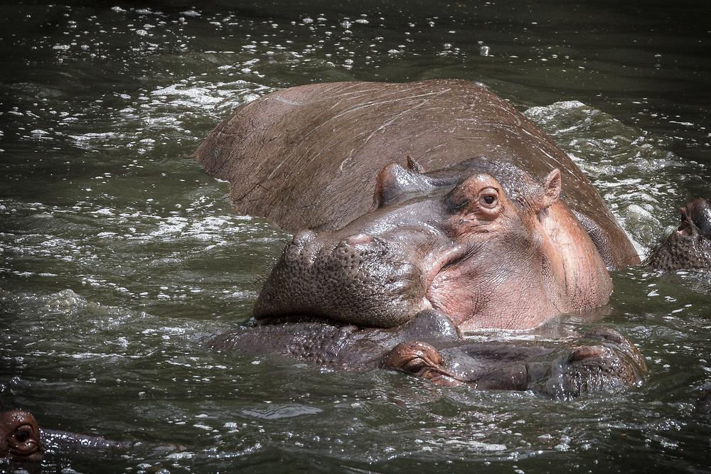 Hippopotamus amphibius, Tanzania