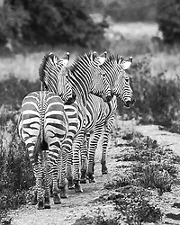 A dazzle of zebra in the Luangwa Valley, Zambia