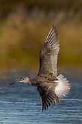 Lesser Yellowlegs in flight, part of a flock of 16 birds on Bass Harbor Marsh, Maine