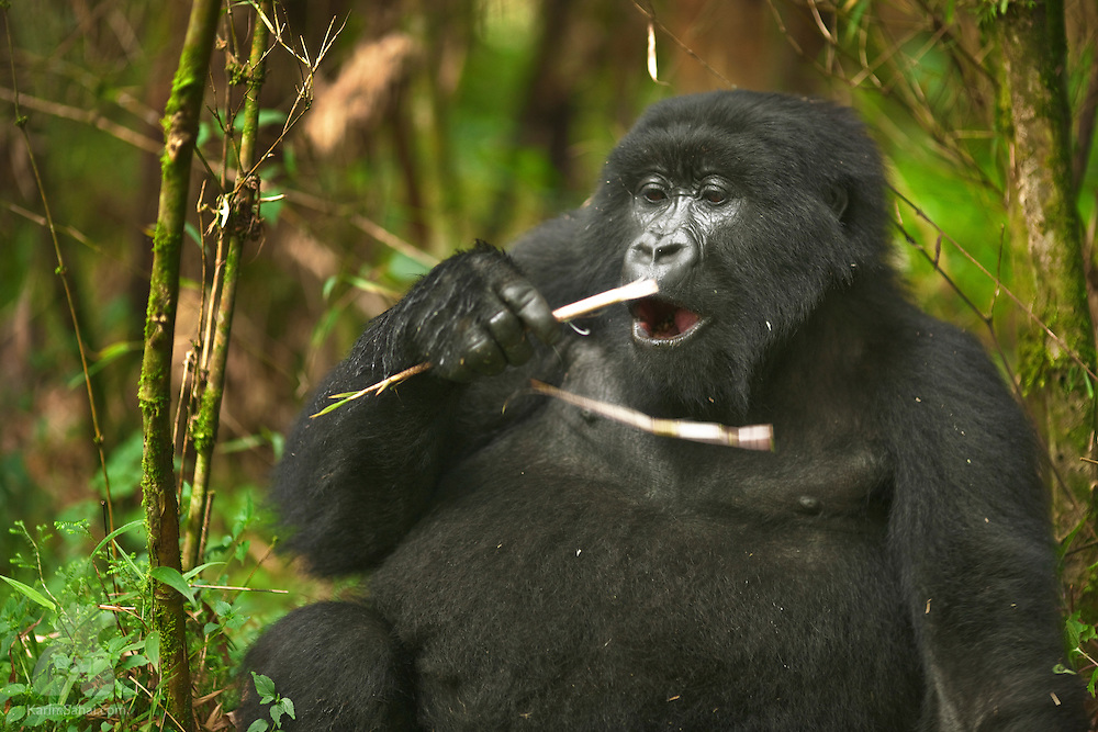 A female mountain gorilla chews a bamboo shoot at the Volcanoes National Park, Rwanda.