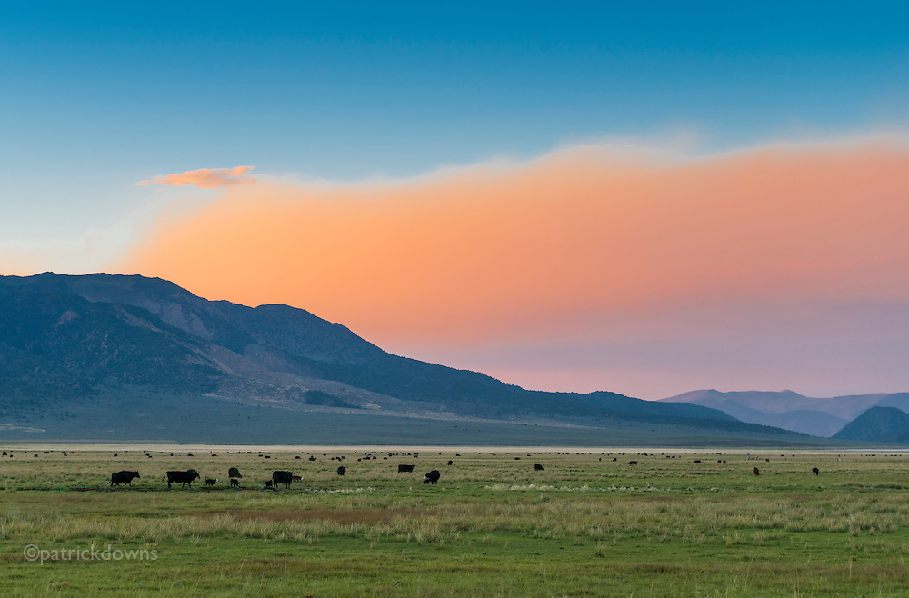 Cows graze in Bridgeport, CA in the lee of the mountains at sunset, under a partial sky of fire smoke from the wildfires raging in the state.