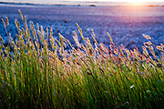 Sweetgrass blowing in the wind at sunset