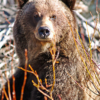 grizzly bear close, grizzly head shot, grizzly standing,