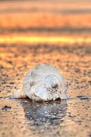 Sunset reflects off the wet sand in this photograph of a shell on an Outer Banks beach.