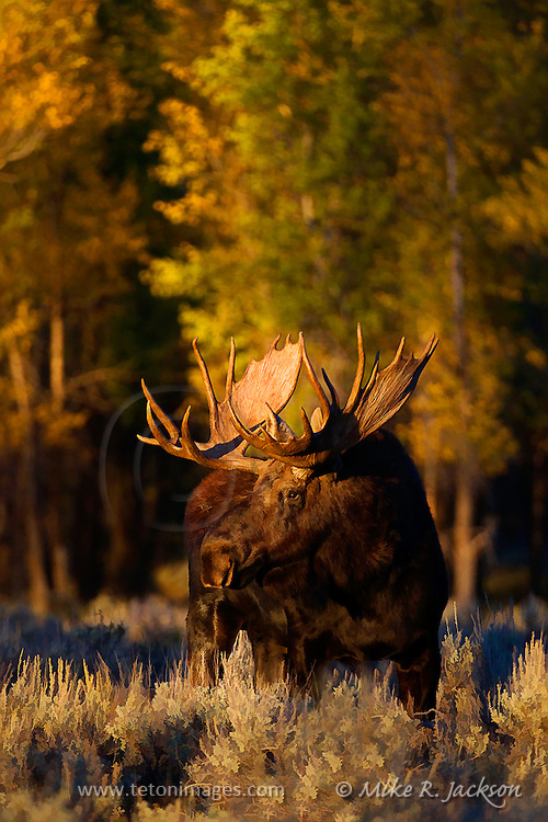 Artistic effects applied to a late evening photograph of a large bull moose in Grand Teton National Park at the beginning of the fall foliage season.