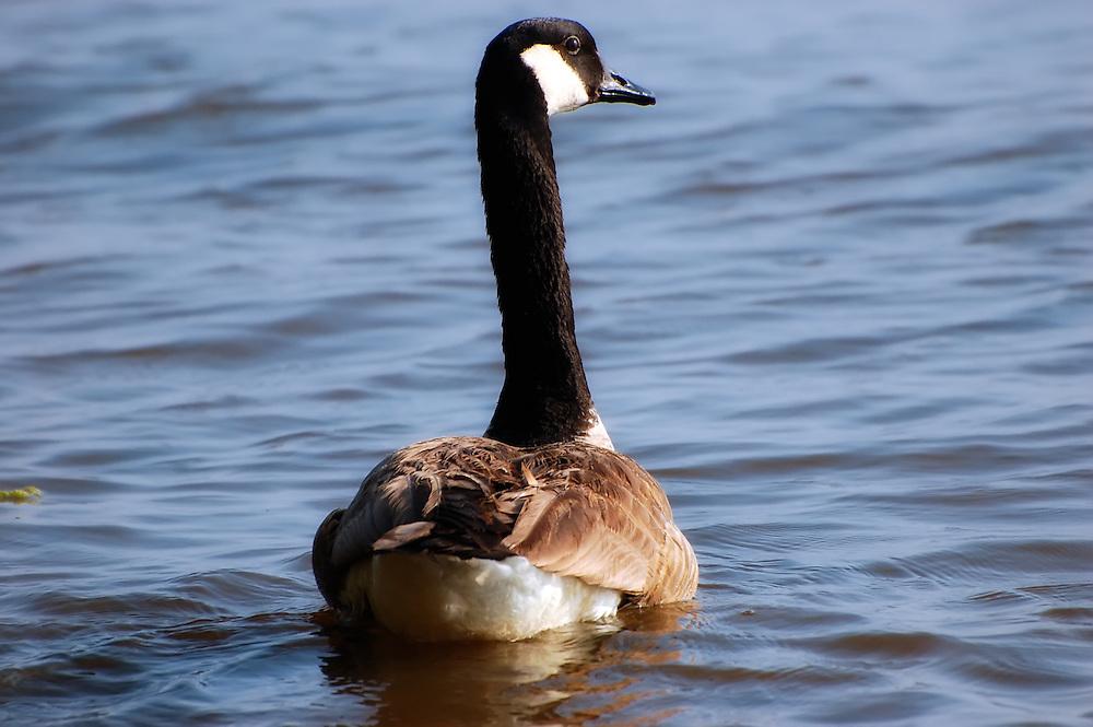 A Canada goose on Lake Seminole, on the Florida-Georgia border.