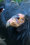 A California condor (Gymnogyps californianus) portrait near the Big Sur coast, California.