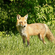 A mother red fox keeps an eye on her young kits near a subdivision in southern Fayette County in Lexington, Ky., on April 25, 2012. Photo by David Stephenson