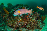 Two male Galapagos Sheephead Wrasse, Semicossyphus darwini, square off on a deep reef in the Galapagos Islands, Ecuador.