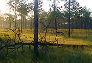 Sunrise on pine savannah - Grand Bay N.W.R., Mississippi