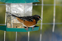 Spotted Towhee (Pipilo maculatus) on bird feeder, Courtenay, Vancouver Island, Canada   Photo: Peter Llewellyn