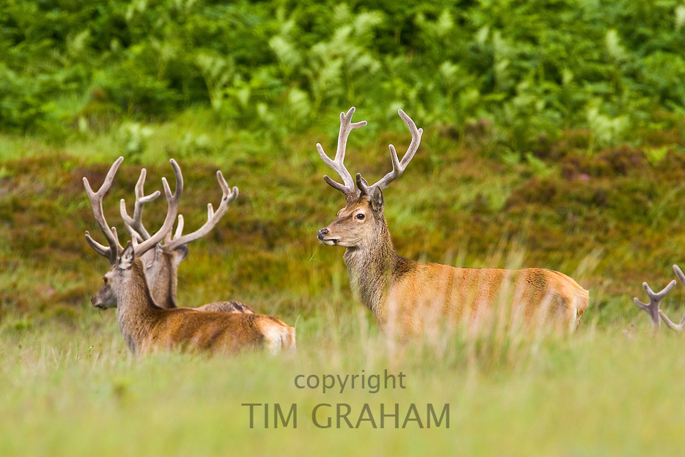 Red Deer, Scotland, United Kingdom