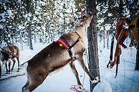 Reindeer eating lichen off a tree