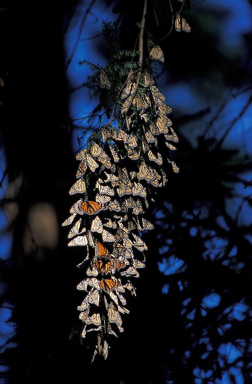 Monarch Butterflies,Reserva de la Biosfera Mariposa Monarca el Rosario, Angangueo, Michoacan, Mexico