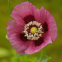 A close-up of a purple colored poppy  (papaver orientale) flower,with green background.