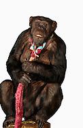 Deutschland, DEU, Krefeld, 2004: Projekt ueber die biologischen Wurzeln der Mode. Die Shootings hierfuer wurden mit Grossen Menschenaffen, die dem Menschen am naechsten sind, im Krefelder Zoo gemacht. Die Tiere waren weder zahm noch trainiert. Die Kleidungsstuecke wurden in die Gehege geworfen und was immer die Tiere damit anstellten, taten sie aus sich selbst heraus. Ein Eingreifen oder gar eine Regie war unmoeglich. Da das Verhalten der Affen im Mittelpunkt stand, wurden die Hintergruende von den Originalfotografien entfernt. Schimpansen-Weibchen Gombe mit einem Schlips aus Halstuechern. | Germany, DEU, Krefeld, 2004: Project to look at the basics and roots of fashion. The shootings took place in the Zoo Krefeld with three species of Great Apes who are the nearest to us. The animals were neither tamed nor trained. Whatever the animals did, they did on their own. Any intervention or directing was impossible. To set the focus on the behaviour of the animals itself we removed the background from the original photographs. Chimpanzee (Pan troglodytes) female Gombe with a tie around her neck weaved out of scarfs. |