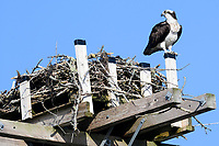 Osprey (Pandion haliaetus) sitting on nest , Petite Riviere, Nova Scotia, Canada,