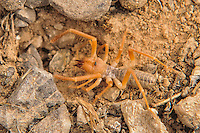 This amazing member of the arachnid family is related to spiders and true scorpions, but is in a class of its own. I found this small yet vicious solifugid hiding under a rock in rural Clark County, Nevada about an hour east of Las Vegas.