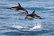 Dusky Dolphin pictures and photos, Kaikoura, New Zealand