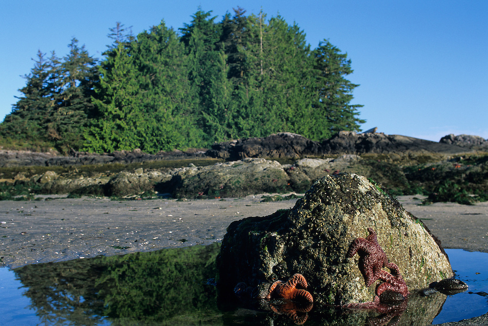 Canada, British Columbia, Vargas Island Provincial Park, Pacific Sea Stars clings to rock above low tide line along western coast